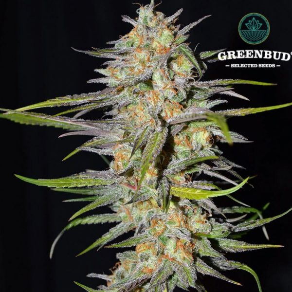 Spitfire Greenbud Seeds