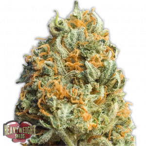 Heavyweight Seeds Fully Loaded Auto