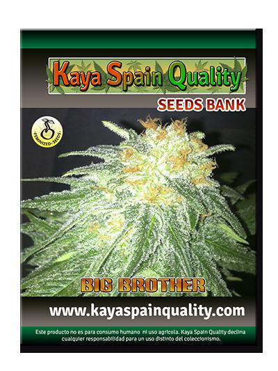 Kaya Spain Quality Big Brother