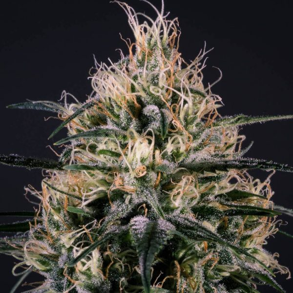 Green Doctor Medical Marijuana Genetics