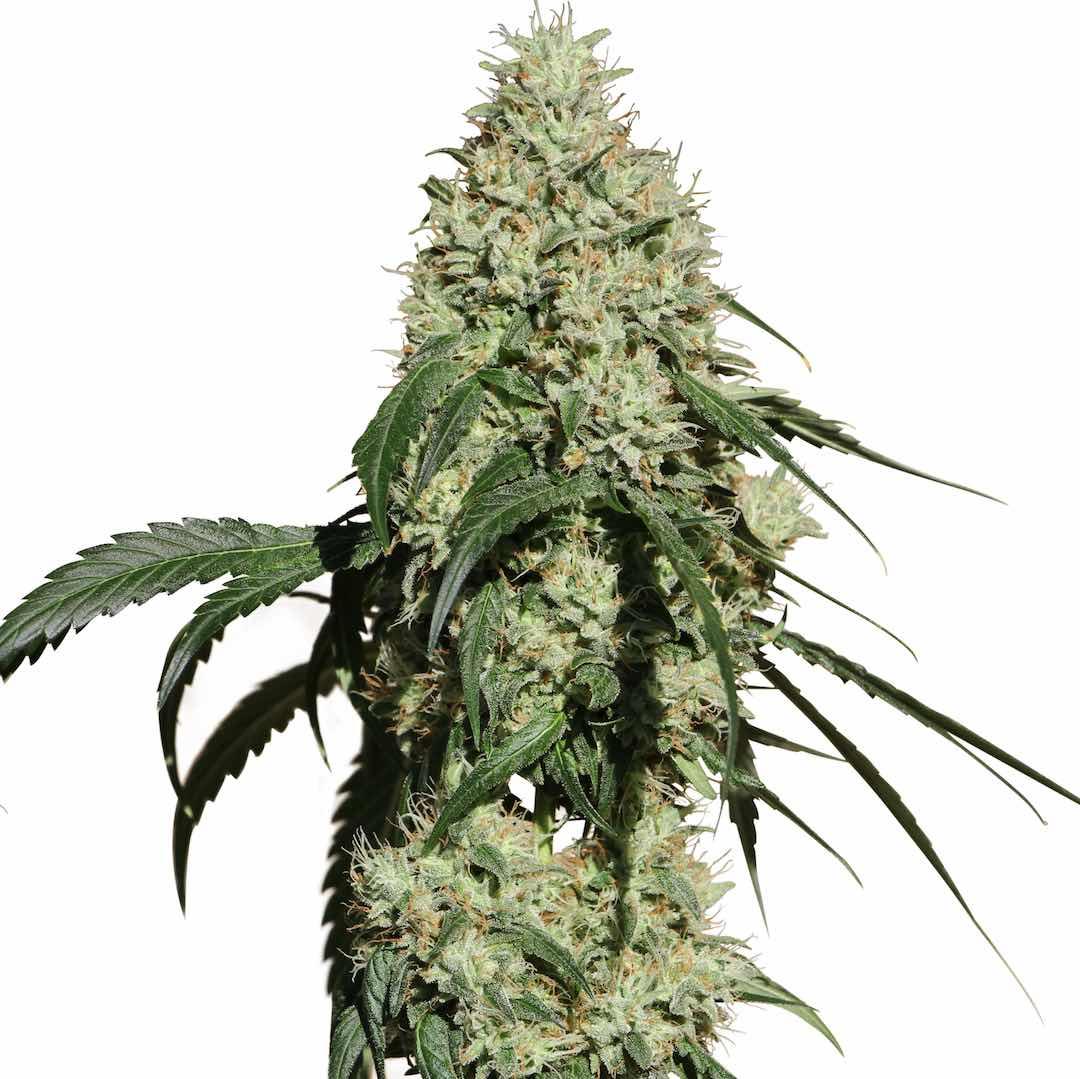 Medical Marijuana Genetics Nagual