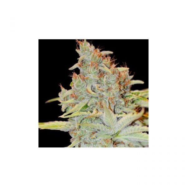Auto Diesel Mass Mr Hide Seeds