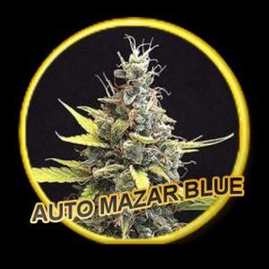 Mr Hide Seeds Auto Mazar Blue