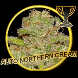 Mr Hide Seeds Auto Northern Cream
