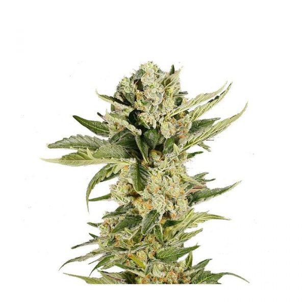Mr. 420K Mr Hide Seeds