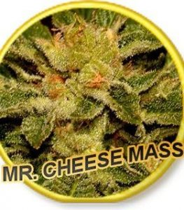 Mr Hide Seeds Mr. Cheese Mass