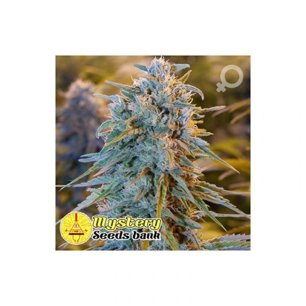 Blue Dreaming Mystery Seeds