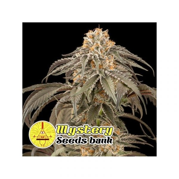 Chocolate Kush Mystery Seeds