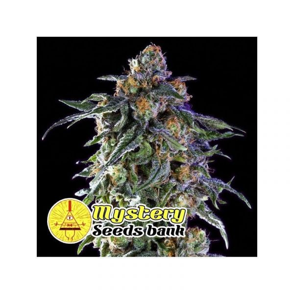 Grandaddy Purple Mystery Seeds