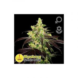 Mystery Seeds New York Diesel Auto
