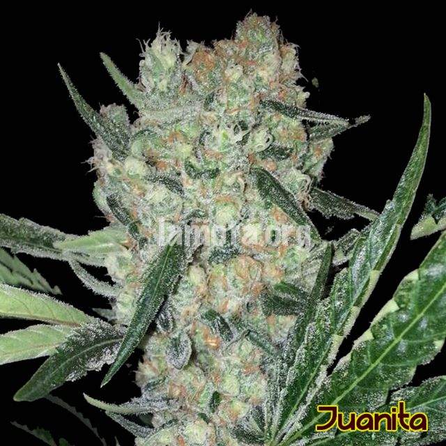 Original Sensible Seeds Juanita