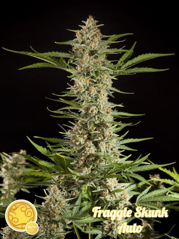 Philosopher Seeds Fraggle Skunk Auto