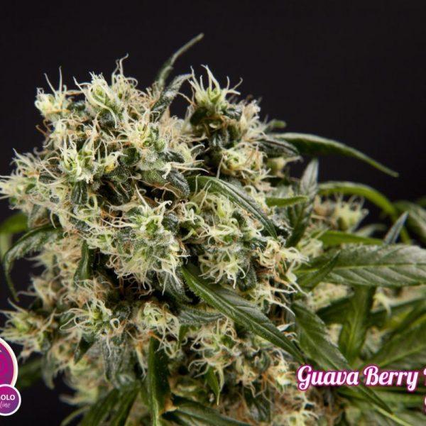 Guava Berry Kush / Guayita Philosopher Seeds