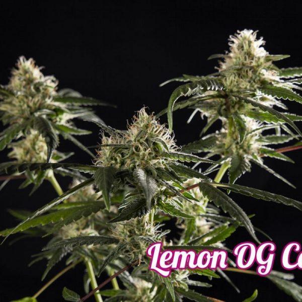 Lemon OG Candy Hiszpania