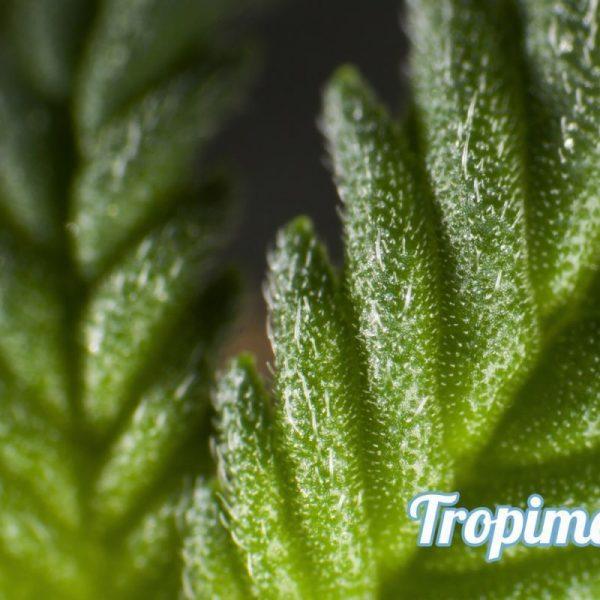 Tropimango Philosopher Seeds