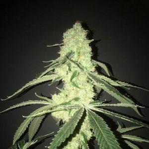 Pot Valley Seeds Her Majesty's Kush