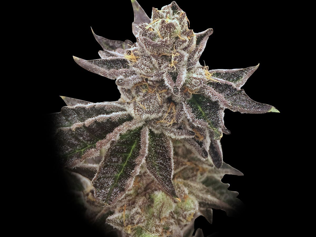 Rare Dankness Seeds Cookie OX