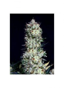 Absolute Cannabis Seeds Rittus Haze