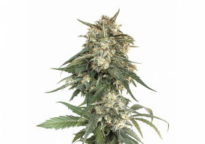 Seed Stockers BCN Critical XXL Fast