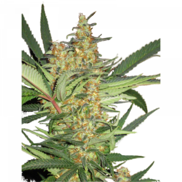 Amajikoym Super Strains