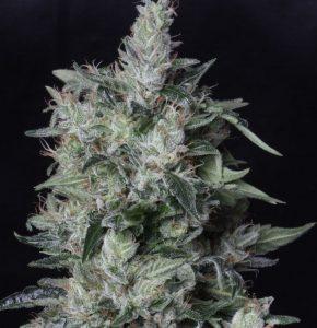 TH Seeds A-Train