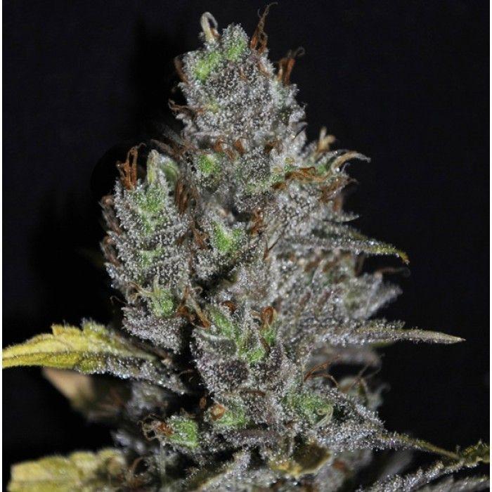 VIP Seeds Viagrra