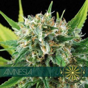 Vision Seeds Amnesia