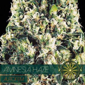 Vision Seeds Amnesia Haze Auto