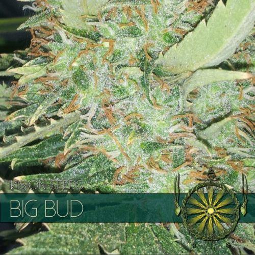 Vision Seeds Big Bud