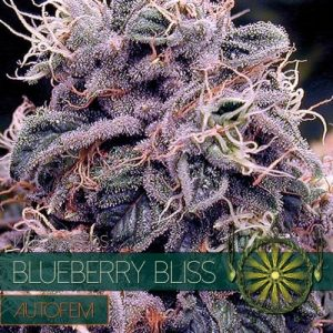 Vision Seeds Blueberry Bliss Auto