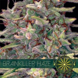 Vision Seeds Brainkiller Haze
