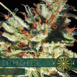 Vision Seeds Delhi Cheese Auto