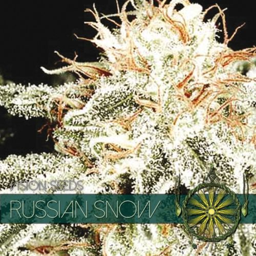 Vision Seeds Russian Snow