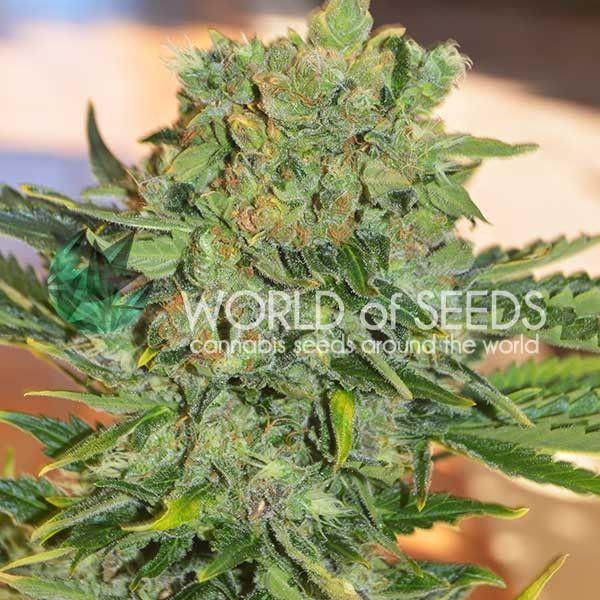 Tonic Ryder CBD World of Seeds