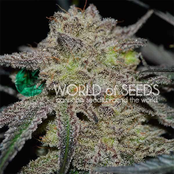 World of Seeds Tonic Ryder CBD