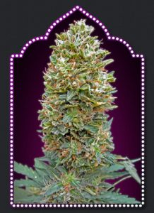 00 Seeds Bank Auto Bubble Gum