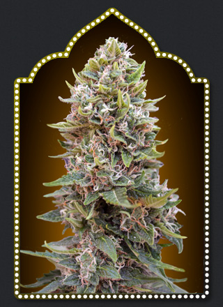 00 Seeds Bank Auto Cheese Berry