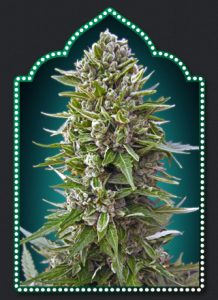00 Seeds Bank Auto Northern Lights