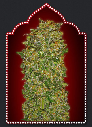 00 Seeds Bank Chocolate Kush