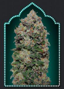 00 Seeds Bank Northern Lights