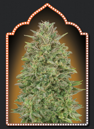 00 Seeds Bank 00 Skunk