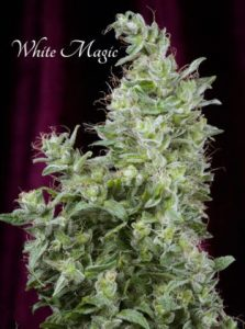 Mandala Seeds White Magic