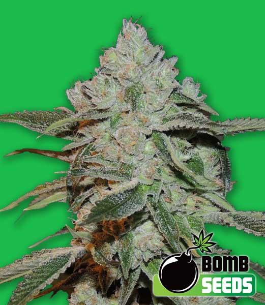 Bomb Seeds Atomic