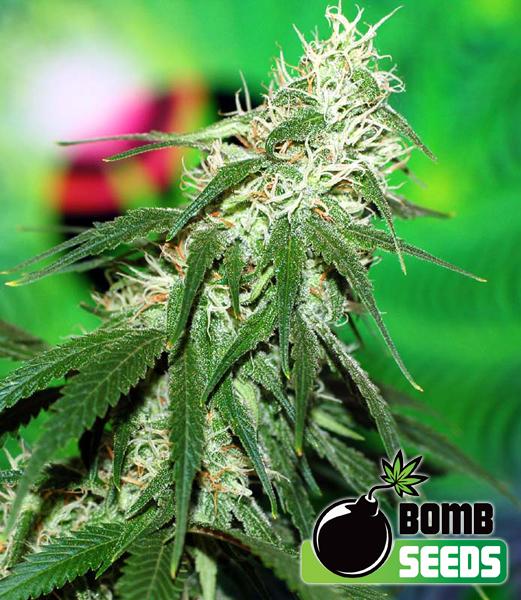 Bomb Seeds Buzz Bomb