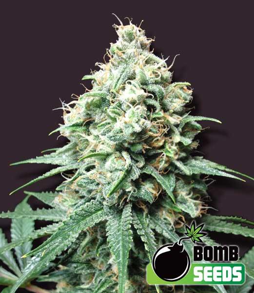 Bomb Seeds Kush Bomb