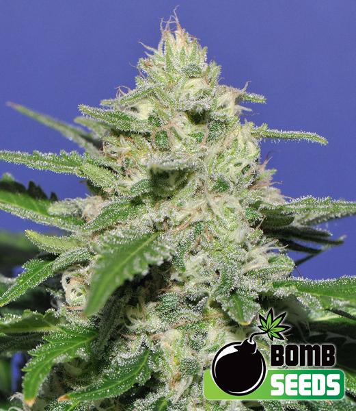 Bomb Seeds Widow Bomb