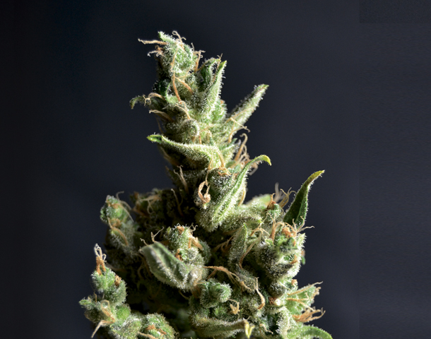 Cbd Seeds Amnesia 5