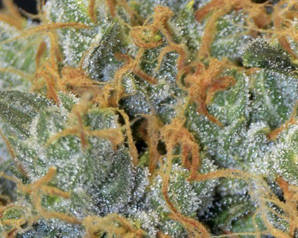 Lavender Cbd Seeds