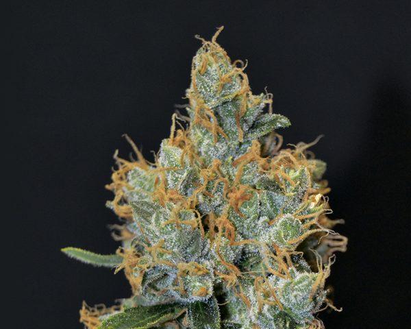 Lavender Hiszpania