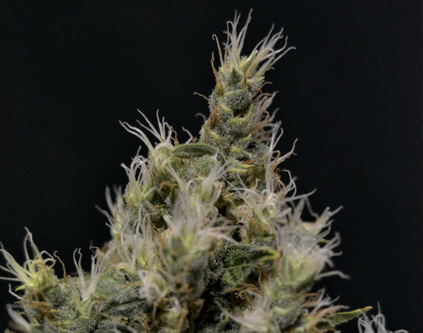 Cbd Seeds Vanilla Haze